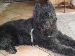 Obelix, chien Bouvier des Flandres