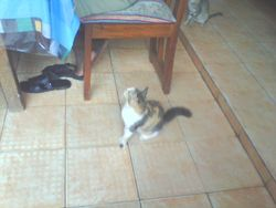Obene, chat