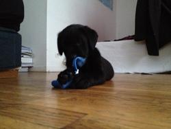 Obi, chien Labrador Retriever