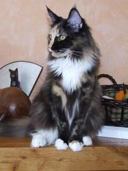 Obsession, chat Maine Coon