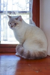 Ocean Des Iscles, chat British Shorthair