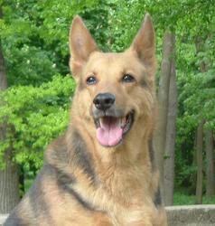 Océane , chien Berger allemand