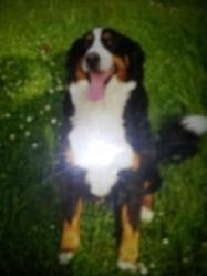 Océane, chien Bouvier bernois