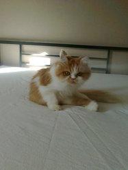 Océane, chat Persan