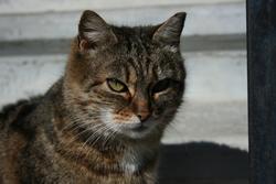 Océane , chat Européen