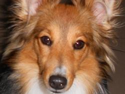 Océane, chien Berger des Shetland