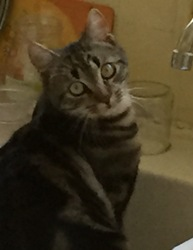 Ocelot, chat Européen