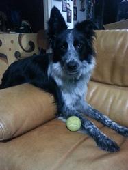 Ochala, chien Border Collie