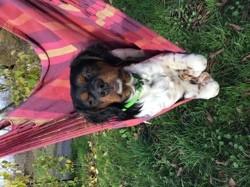 Octave, chien Épagneul breton