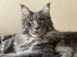 Oddin, chat Maine Coon