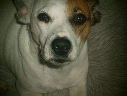 Oddy, chien Jack Russell Terrier
