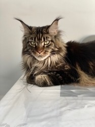 Odessa, chat Maine Coon
