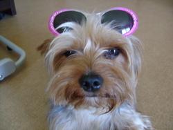Odi, chien Yorkshire Terrier