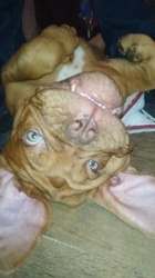 Odin, chien Dogue de Bordeaux