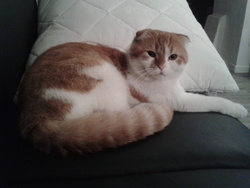 Odin, chat Scottish Fold