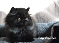 Odisséo, chat Persan