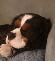 Odyss, chien Cavalier King Charles Spaniel