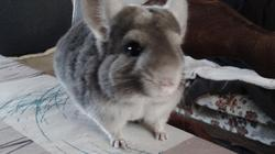 Oedipe, rongeur Chinchilla