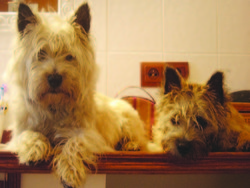 Oggi, chien Cairn Terrier