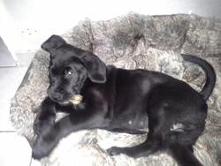Oggy, chien Rottweiler