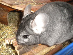 Oggy, rongeur Chinchilla