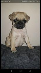 Oggy, chien Carlin