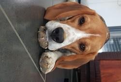 Oggy, chien Beagle
