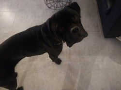 Oggy, chien Cane Corso