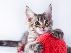 Oggy, chat Maine Coon