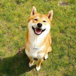 Oggy, chien Shiba Inu