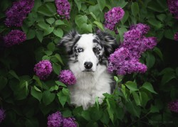 Ogmios, chien Border Collie