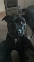 Ohana, chien Staffordshire Bull Terrier