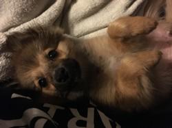 Ohana, chien Spitz allemand