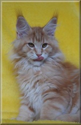 Ohlalla, chat Maine Coon
