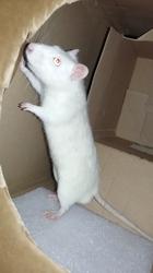 Ohno, rongeur Rat