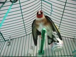 Oiseau Maknin, autres