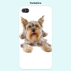 Ola, chien Yorkshire Terrier
