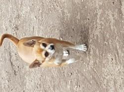 Olaf, chien Chihuahua