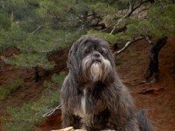 Olaf, chien Lhassa Apso