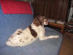 Olaf, chien Épagneul breton