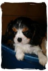 Olaf, chien Cavalier King Charles Spaniel