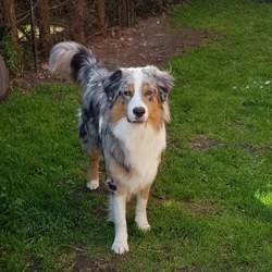 Olaf, chien Berger australien