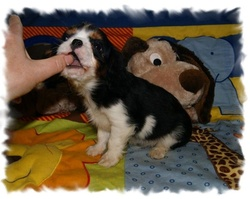 Olaf, chien Cavalier King Charles Spaniel