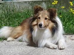 Olaf, chien Berger des Shetland