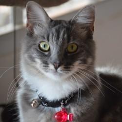 Olaff, chat Européen