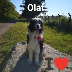 Olal, chien Border Collie
