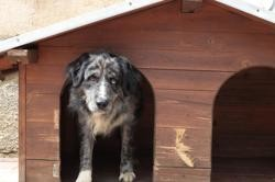 Olco, chien Border Collie