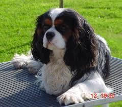 Olwen, chien Cavalier King Charles Spaniel