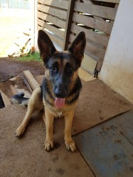 Olfy, chien Berger allemand