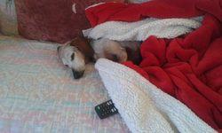 Olga, chien Teckel